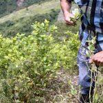 Balance de un año de implementación de la Política de sustitución de cultivos de coca